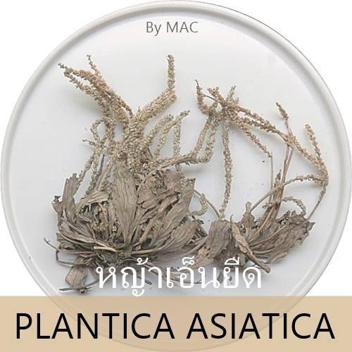 PLANTICA ASIATICA หญ้าเอ็นยืด