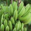 กล้วยหอมทอง 1 ไร่ 1 แสน ทำได้จริง มีคลิป!!!!!!!!!!!!