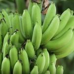 ไม่น่าเชื่อ !!!!กล้วยหอมทอง 1 ไร่ 1 แสน ทำได้จริง มีคลิป!!!!!!!!!!!!